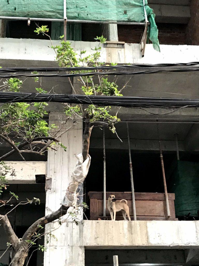 カンボジア 野良犬
