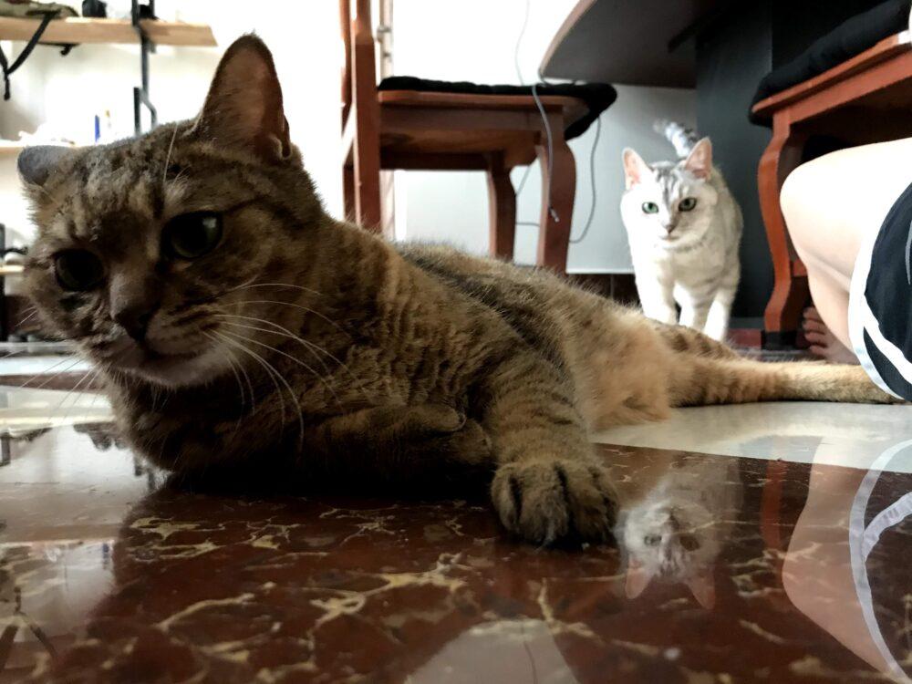 猫 海外移住